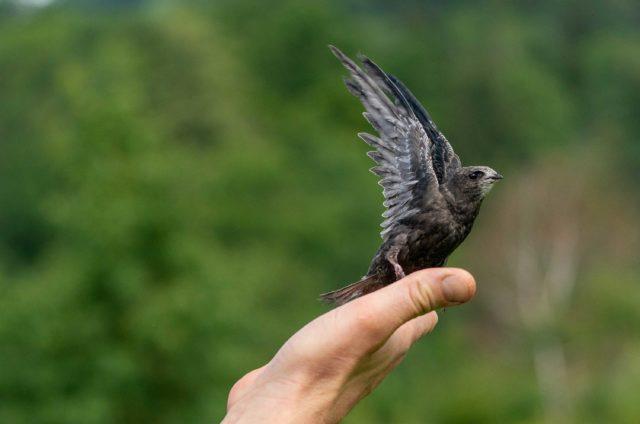 Wenn immer möglich werden die Findeltiere nach ihrer Genesung wieder in ihren natürlichen Lebensraum entlassen (im Bild ein Mauersegler).