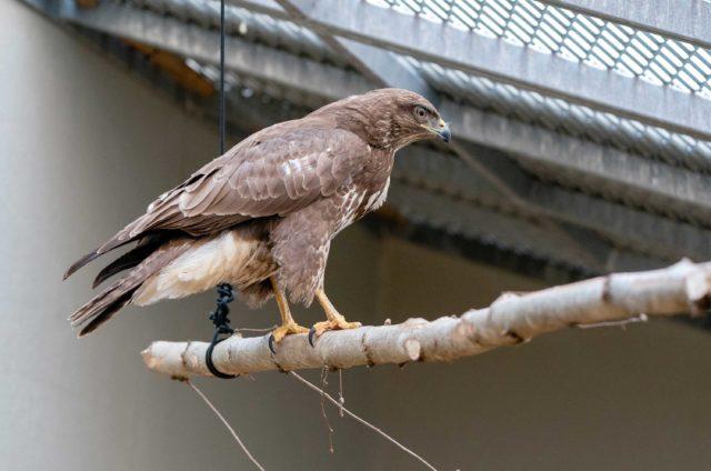 Nicht nur Jungtiere, sondern auch verletzte Tiere werden in Goldau betreut (im Bild ein Mäusebussard) und in grossen Volieren wird mit ihnen Flugtraining gemacht.