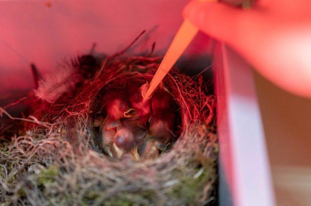 Der Frühling ist auch Jungvogel-Zeit: Es ist nicht immer einfach, die Tiere zum Fressen zu animieren.